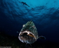   This Max giant Bahama Grouper. was taken Canon 7D Tokina 1017 Nauticam housing 4.33 Dome. Grouper 10-17 10 17 4.33' 433' 33' Dome  